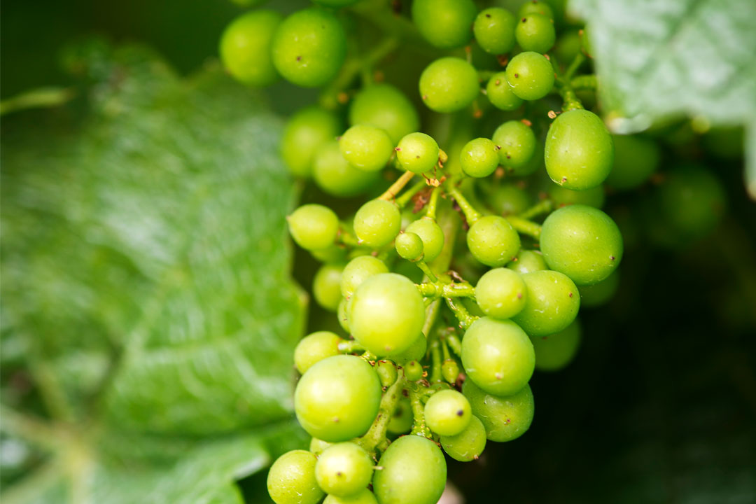 Hesket Estate vineyard young grapes for award-winning wines
