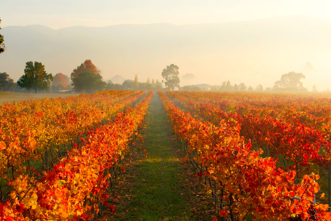 Mandala Wines autumn vineyard