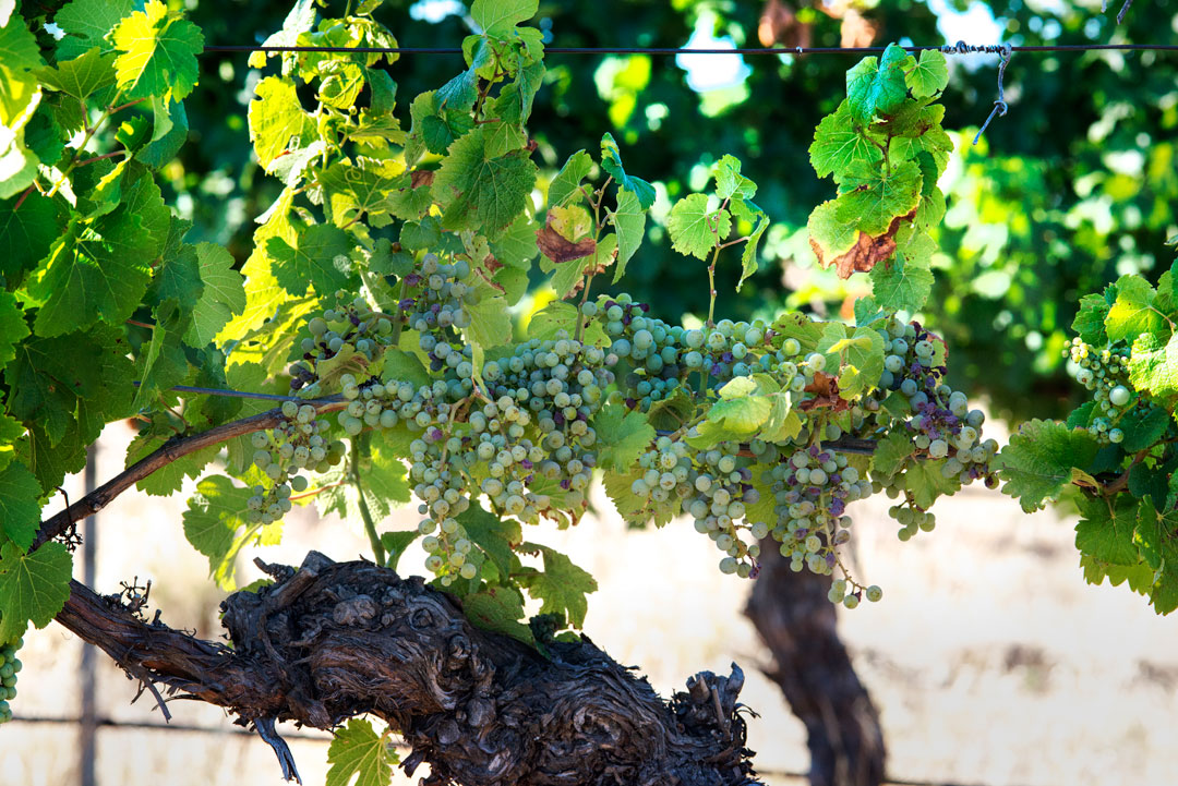 Mount Avoca vines and grapes close up
