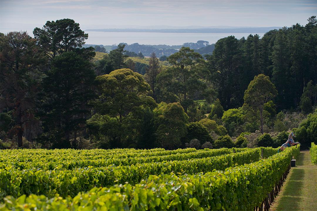 Prancing Horse Estate vineyard