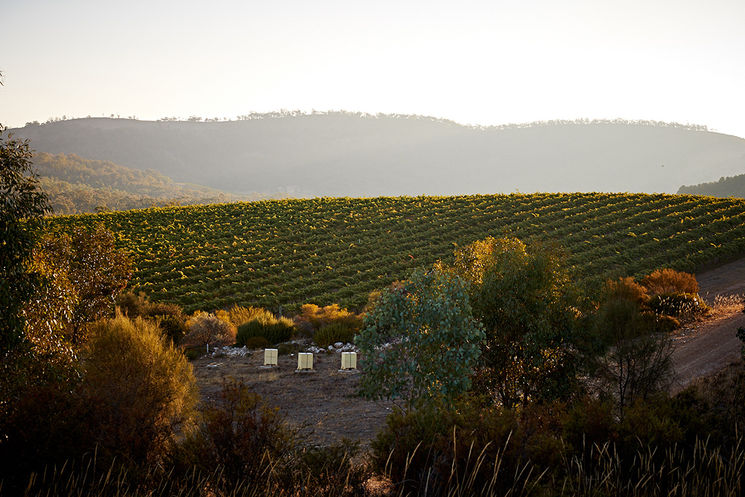 Taltarni Vineyards vines close up sunset