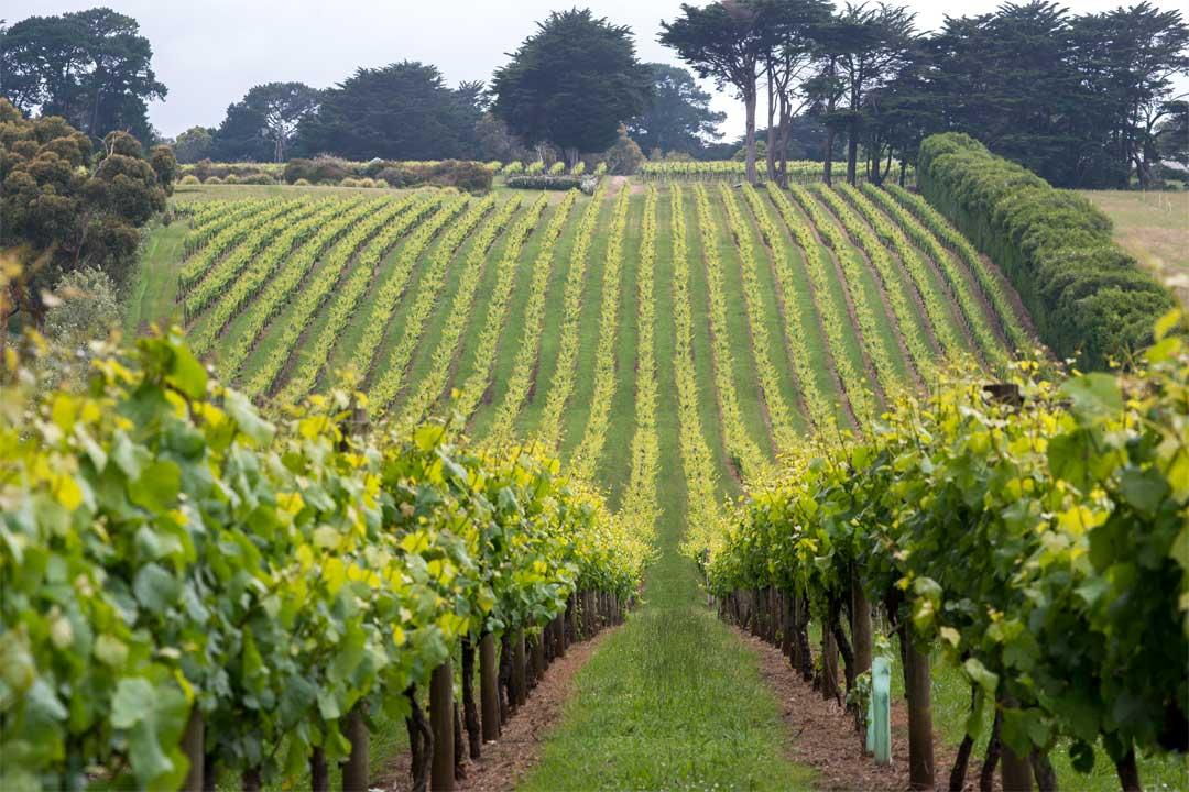Wynnton Ridge Vineyard green grapevines