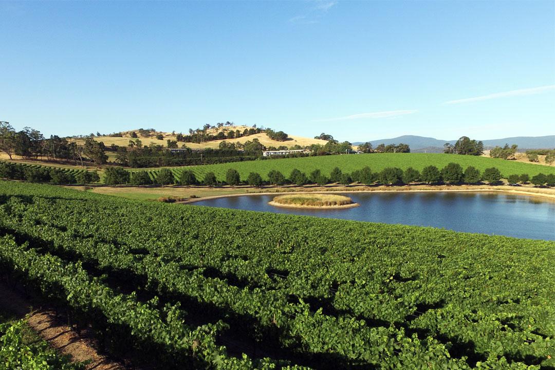Yarrawood Estate green vineyard