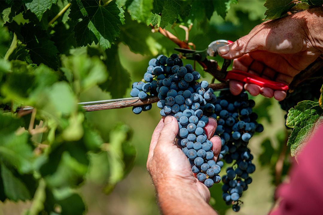 Bendigo Winegrowers Association